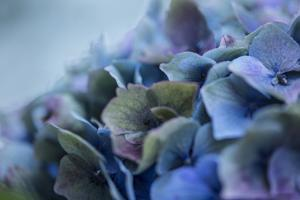Autumn Hydrangea IV by Rita Crane