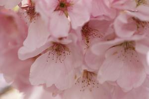 Cherry Blossoms II by Rita Crane