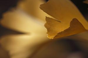 Gingko Leaves I by Rita Crane