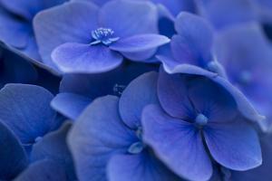 Hydrangea Blues I by Rita Crane