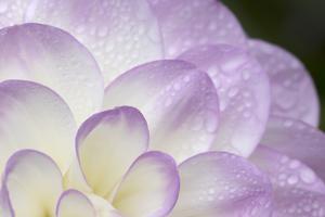 Lavender Dahlia I by Rita Crane
