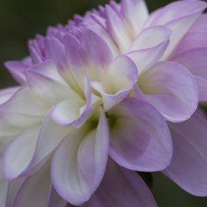 Lavender Dahlia IV by Rita Crane