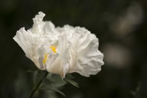 Matilija Blossom I by Rita Crane