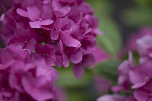 Pink Hydrangeas I by Rita Crane
