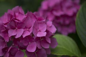 Pink Hydrangeas V by Rita Crane