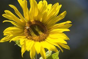 Sunflower and Bee I by Rita Crane