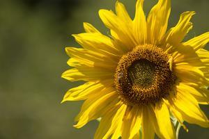 Sunflower and Bee II by Rita Crane