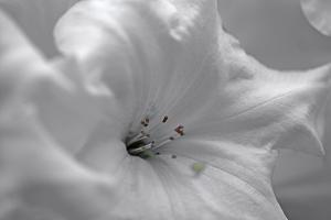 White Rhodies I by Rita Crane