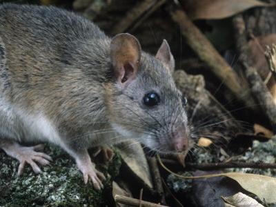 Key Largo Wood Rat or Packrat (Neotoma Floridana Smalli), an Endangered Species, Florida, USA