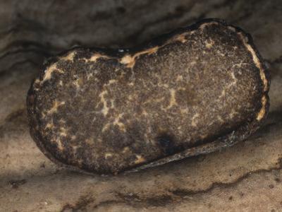 Truffle Mushroom (Terfezia), North America