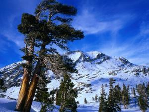 Ancient Limber Pines with Snowy Mountain Behind Sequoia National Park, California, USA by Rob Blakers