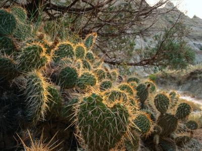 Ball Cactus or Pincushion Cactus in the Northern Region of Theodore Roosevelt National Park by Rob Blakers