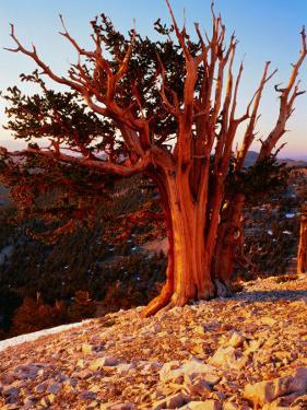 Bristlecone Pine in the White Mountains, eastern California by Rob Blakers