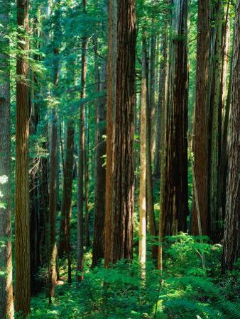 Castal Redwood Trees, California, USA by Rob Blakers