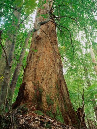 Eucalypt and Sassafras Trees Tarkine, Tasmania, Australia by Rob Blakers