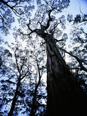 Eucalypt Trees from Below in Southeast Tasmania by Rob Blakers