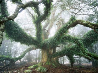 Largest known Myrtle Tree in the World by Rob Blakers