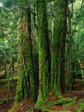 Myrtle Beech (Nothofagus Cunninghamii) in Mersey Valley Rainforest, Tasmania, Australia by Rob Blakers