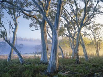 Snowgums at Navarre Plains, South of Lake St Clair by Rob Blakers