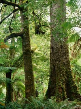 Trees in Forest Mt. Field National Park, Tasmania, Australia by Rob Blakers