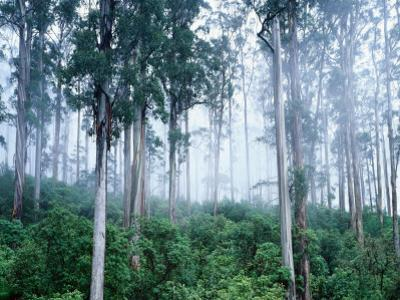 Wielangta Forest in Mist by Rob Blakers