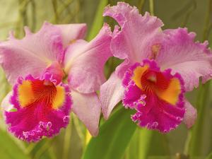 Brassolaeliocattleya Pink Diamond Orchid in the Orchid House at Royal Botanic Gardens, Peradeniya,  by Rob Francis