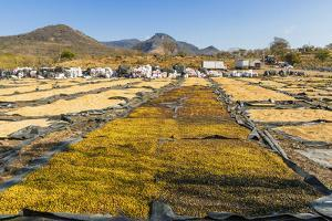 Coffee Beans Drying in the Sun in the Important Growing Region around This Northern City by Rob Francis
