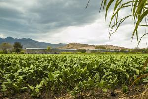 Field of Tobacco Plants in an Important Growing Region in the North West by Rob Francis
