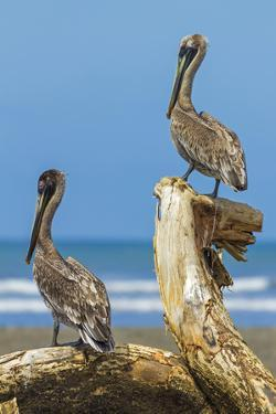 Pair of Brown Pelicans (Pelecanus Occidentalis) Perched at the Nosara River Mouth by Rob Francis