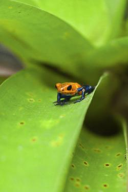 Poison Dart Frog by Rob Francis