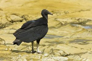 South American Black Vulture by Rob Francis