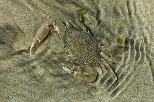Superbly Camouflaged Crab on Playa Guiones Beach by Rob Francis