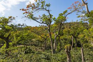Typical Flowering Shade Tree Arabica Coffee Plantation in Highlands En Route to Jinotega by Rob Francis