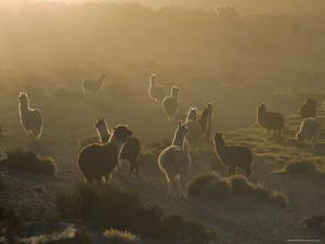 Llamas, Lauca National Park, Atacama, Chile, South America by Rob Mcleod