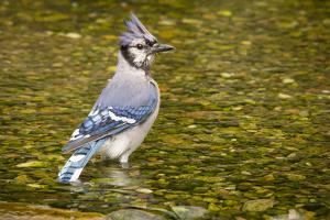Blue Jay in Midst of Bathing, Illinois by Rob Sheppard