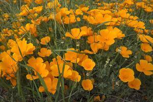 California Poppies, Montana de Oro SP, Los Osos, California by Rob Sheppard
