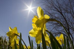 Daffodils, Spring, Freeport, Maine by Rob Sheppard