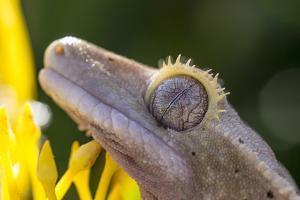 Eyelash Gecko (Captive), San Luis Obispo, California by Rob Sheppard