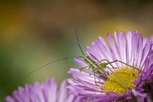 Fork-Tailed Bush Katydid Nymph on Aster, Los Angeles, California by Rob Sheppard