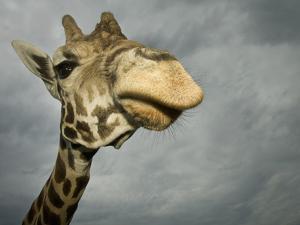 Giraffe, Fossil Rim Wildlife Area, Texas, Usa by Rob Sheppard
