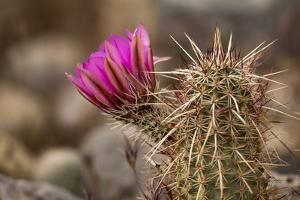 Hedgehog Cactus in Bloom, Red Rock Canyon Nca, Las Vegas, Nevada by Rob Sheppard