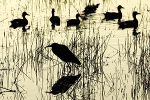 Heron and Ducks, Loxahatchee NWR, Everglades, Florida by Rob Sheppard