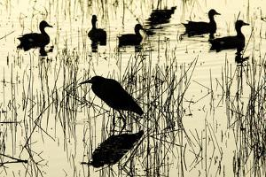 Heron and Ducks, Loxahatchee NWR, Everglades, Florida by Rob Sheppard