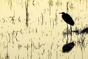 Heron in Loxahatchee National Wildlife Refuge, Everglades, Florida by Rob Sheppard