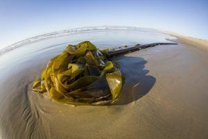 Kelp on Shore, Montana de Oro SP, Central Coast, California by Rob Sheppard