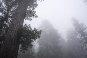 Lady Bird Johnson Grove in Fog, Prairie Creek Redwoods SP, California by Rob Sheppard