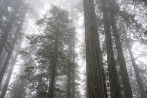 Lady Bird Johnson Grove, Prairie Creek Redwoods SP, California by Rob Sheppard