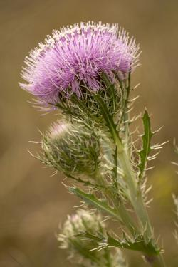 Purple Thistle Flower, Everglades National Park, Florida by Rob Sheppard
