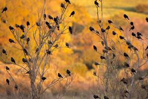 Red-Wing Blackbirds, Sunset, Santa Monica Mountains Nra, California by Rob Sheppard