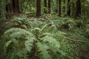 Redwoods and Ferns, Muir Woods, San Francisco, California by Rob Sheppard
